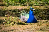 Peacock doing a topiary impression at Warwick Castle!