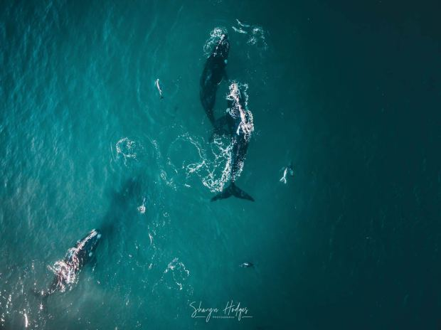 Last Phantom 3 Photo - Mother & Calf - Sharyn Hodges