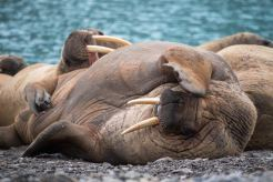 Walruses on Beach