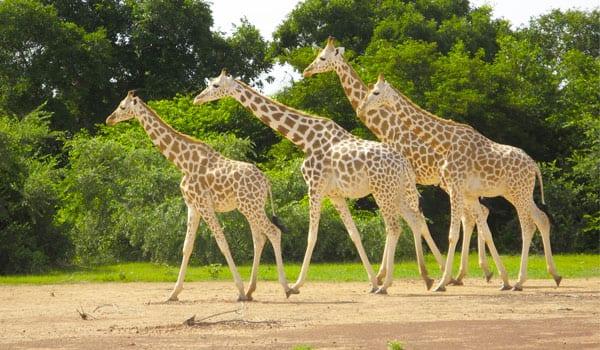 Nigerian White Giraffes