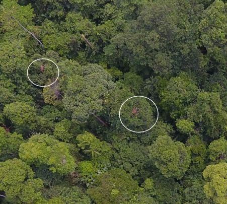 Orangutans nests as seen from above by drone | Orangutan Nest Watch