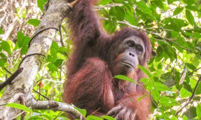 Orangutans are cricitally endangered