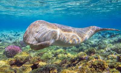 Dugongs are incredibly cute and incredibly hard to study .
