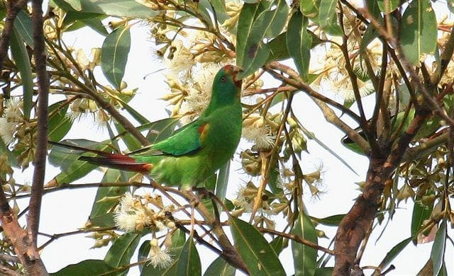 Wildlife Drones successfully track Swift Parrot flocks