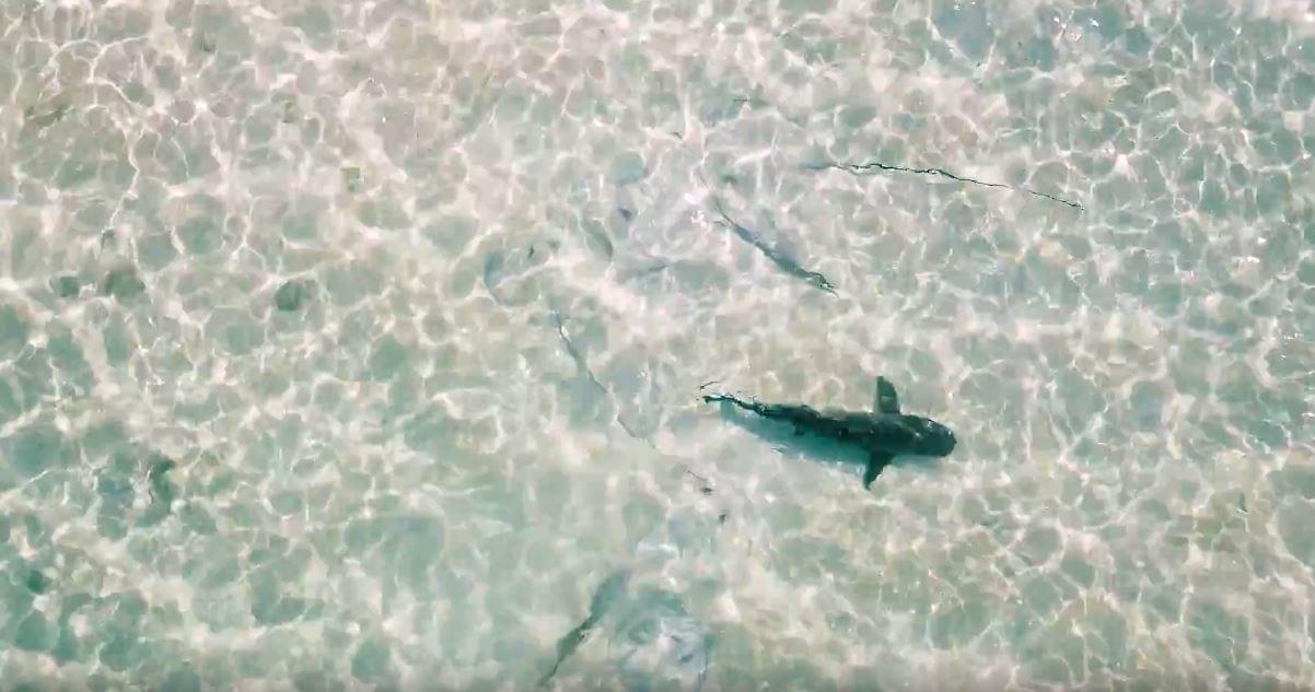 Drones Used to Track Shark Movements Around Australia's Heron Island