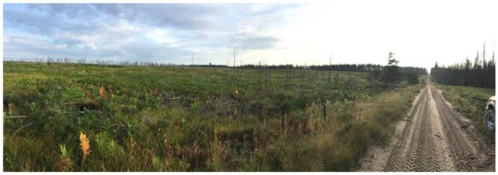 Current landscape highlighting the devastation to the jack pine forest and the vegetation recovery as of summer 2017.