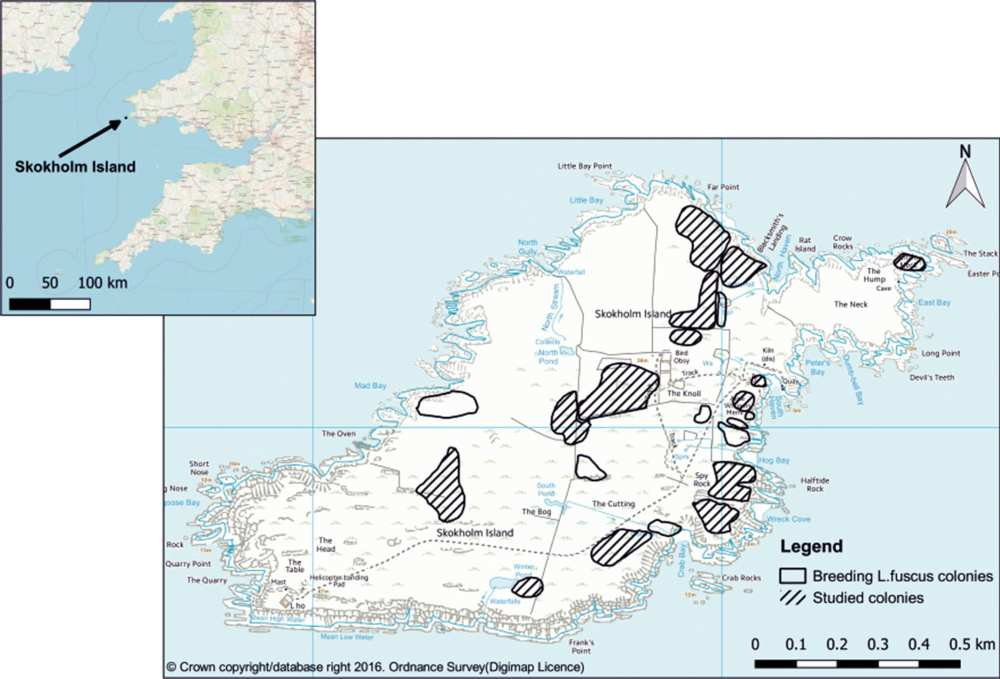 Location map of Skokholm Island and position of Larus fuscus breeding colonies, indicating those that were used in this study
