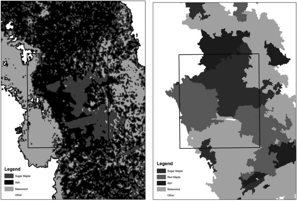 Gray-scale map examples of the best pixel- and object-based classification results with the individual sugar maple tree crown area in Fig. 2 shown in outline. Total area shown in each map is approximately 0.5 ha. Note that the pixel-based supervised classification resulted in three tree species identified with approximately 61% accuracy overall; the object-based classification returned four species with approximately 80% accuracy overall.