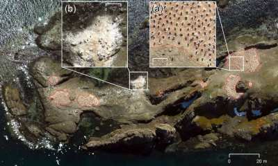 UAV orthomosaic of the chinstrap penguin (Pygoscelis antarcticus) colony at Cabo Cariz (Nelson Island): (a) showing the guano‐covered areas with occupied nests (red polygons) where individuals were counted, and (b) an area in the sublittoral zone close to the shoreline with no occupied nests where individuals were not counted.