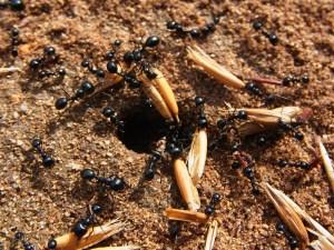 hormigas depredando semillas