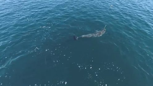 Scientists have believed that the narwhal's tusk was mainly for sexual selection, however, new drone footage shows that the tusk may be a multi-purpose tool for the unicorns of the ocean. The drone aerial video confirms scientific theories and traditional Inuit knowledge, but at the same time, it raises new questions.