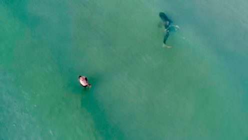 Last weekend in South Beach Florida, Kenny Melendez,who flies drones professionally, was flying his drone when he spotted a large shadow in the water right next to a swimmer. He flew the drone towards it to get a better shot of the large shark, which he believes to have been a tiger shark, very close to the shore and the swimmers.