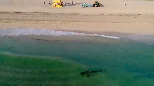 Last weekend in South Beach Florida, Kenny Melendez, who flies drones professionally, was flying his drone when he spotted a large shadow in the water right next to a swimmer. He flew the drone towards it to get a better shot of the large shark, which he believes to have been a tiger shark, very close to the shore and the swimmers.