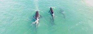 Video Orcas