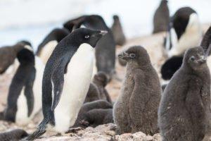El software de la flota de drones UcGS cuenta pingüinos Adelia