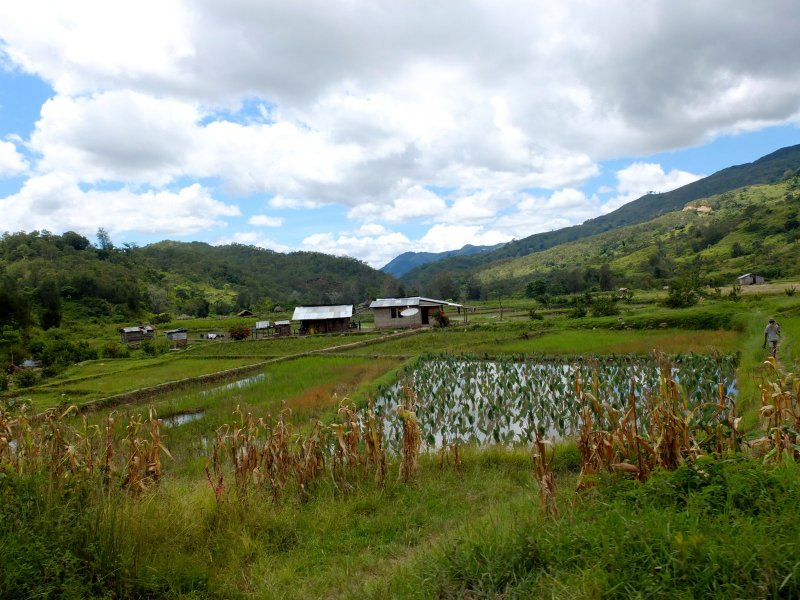 Rice and corn growing in the flat valleys of Aileu.