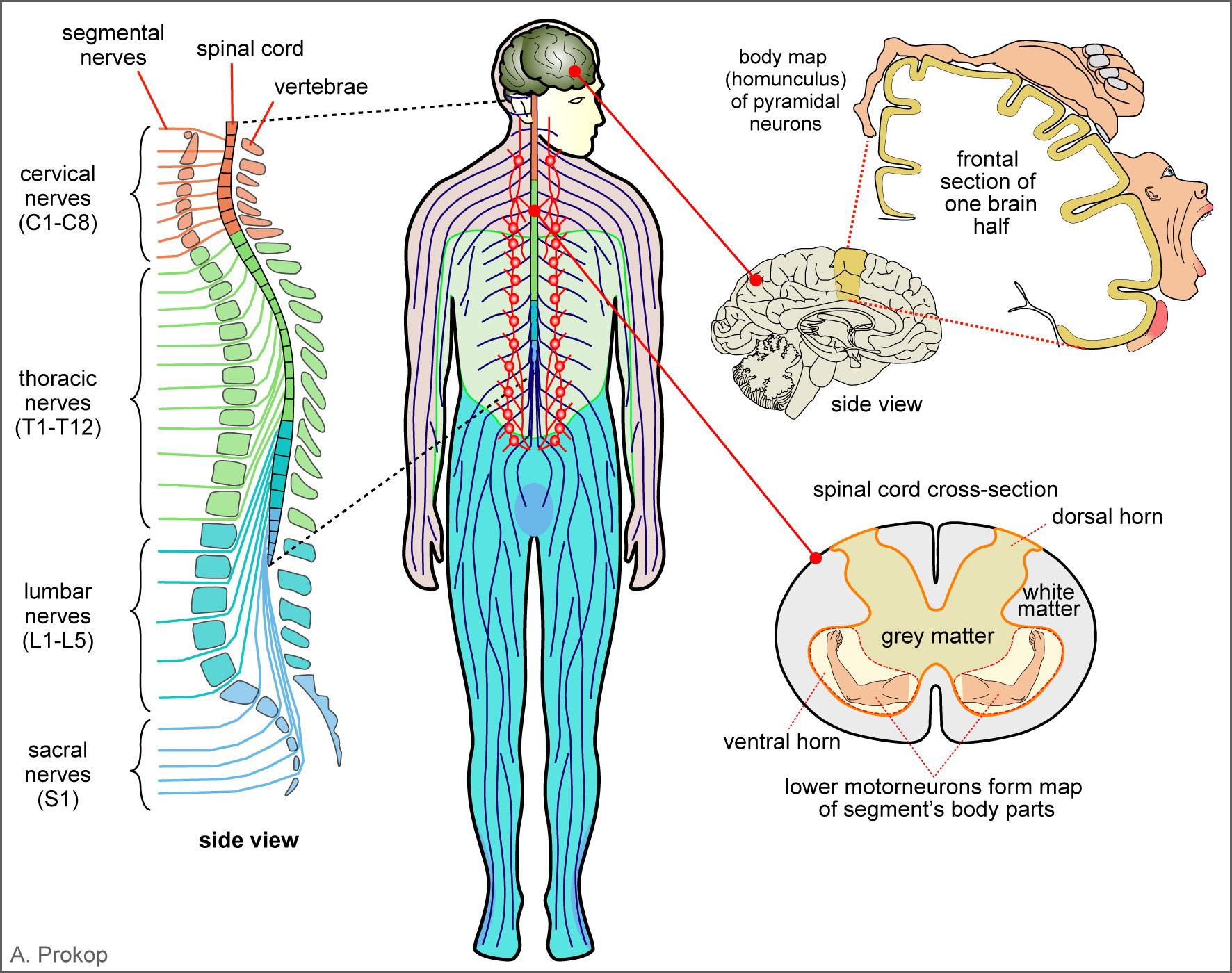 Spinal Nerves Worksheet