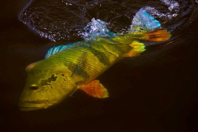 Peacock bass nearly beaten