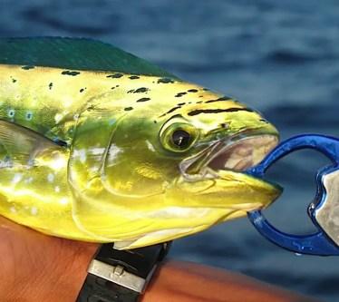 Dorado Fishing Canary Islands