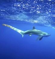 Thresher shark, jason arnold