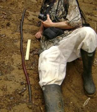 Australian-Giant-Gippsland-Earthworm