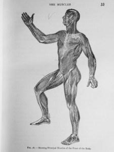 muscle-diagram