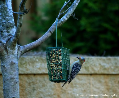 The Red Bellied Woodpecker can't stay away from this feeder!