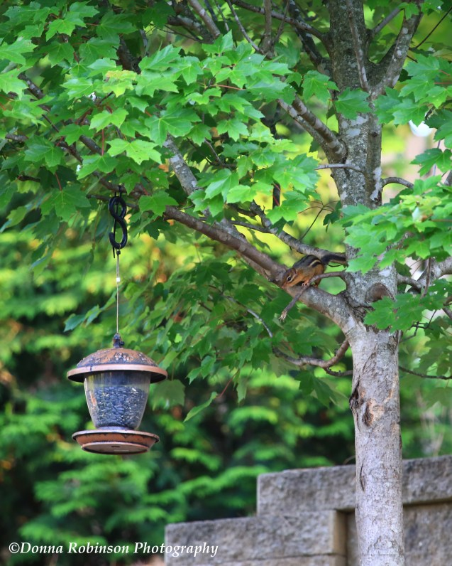 IMG_2141 061519 Chipmunk in the Tree copyright