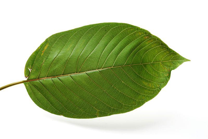 The leaf of the kratom tree (Mitragyna speciosa)