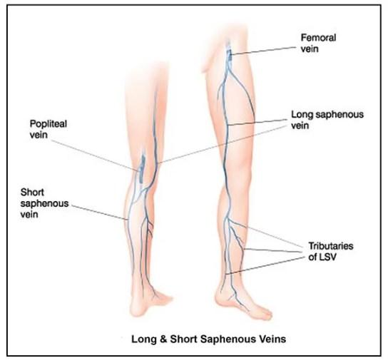 Long & Short Saphenous Veins