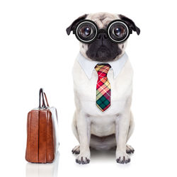 stock-photo-pug-dog-with-suitcase-going-to-work-with-nerd-glasses-and-big-ugly-eyes-isolated-on-white-background-214744603