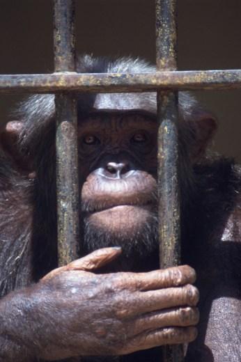 Monkey Behind Bars