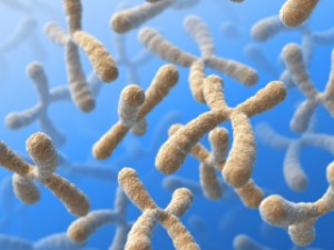 choromsomes 300x225 The Tall Tail of Telomeres
