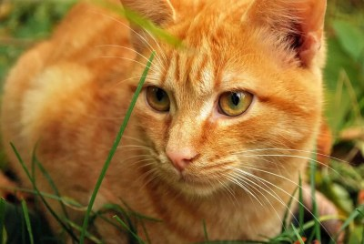 Why Do Cats Need Taurine? - Dr  Ruth Roberts