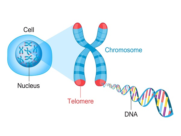 exercise affects your telomeres