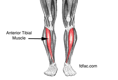 anterior-tibial-muscle1