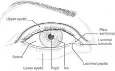 El ojo de raza blanca, dibujo anatomico