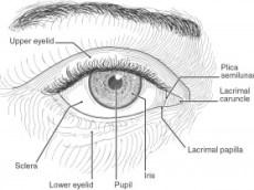 El ojo de raza negra, dibujo anatómico