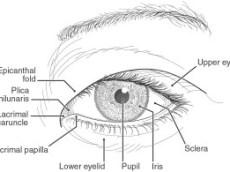 El ojo oriental, dibujo anatómico