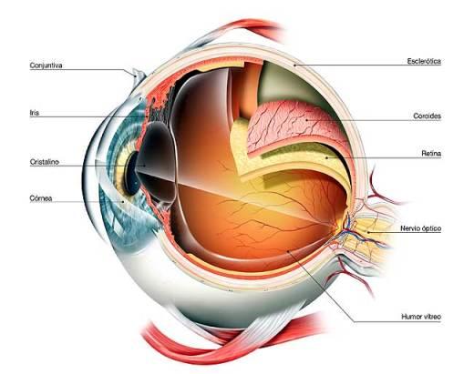 Las partes del ojo humano