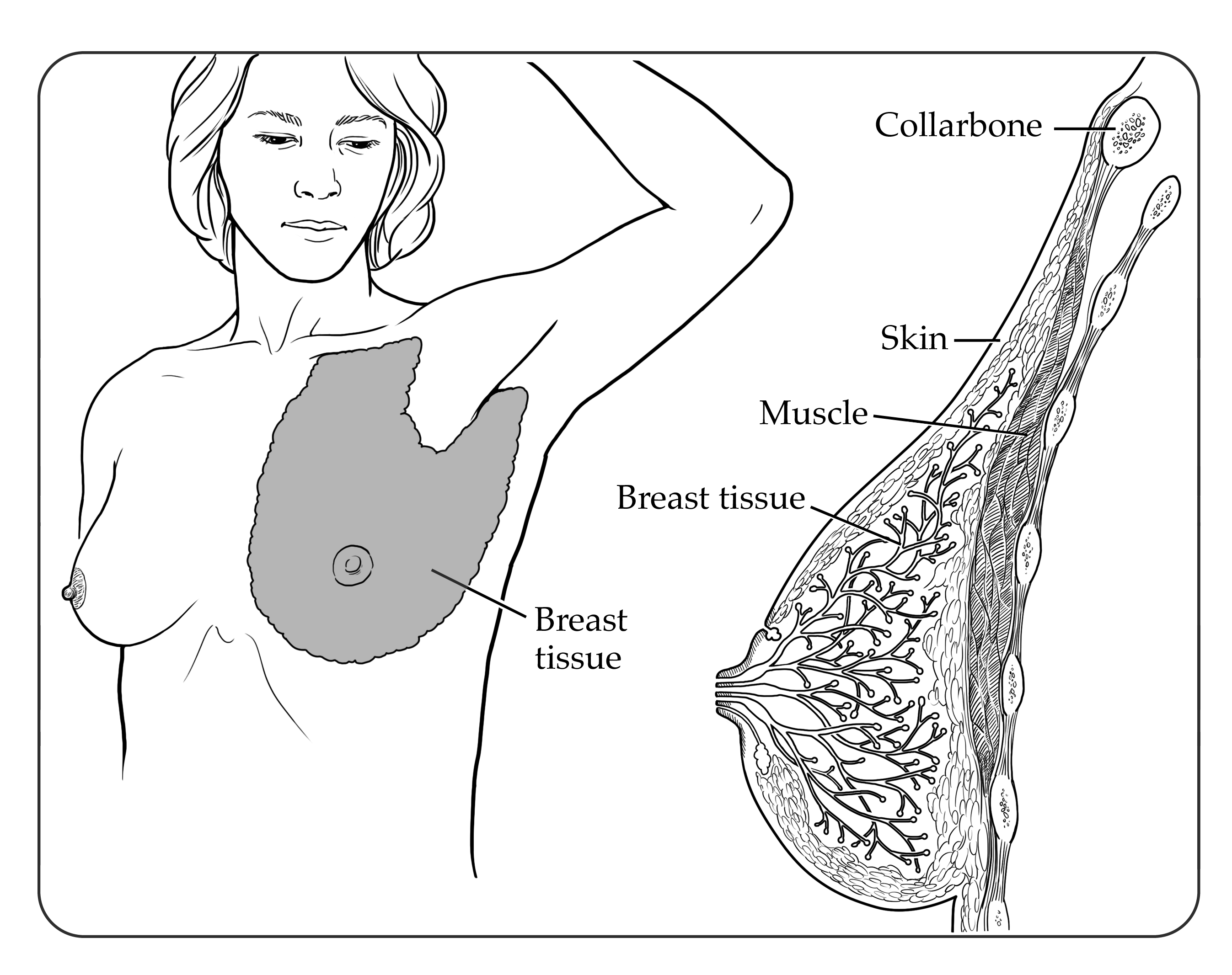 The Normal Breast