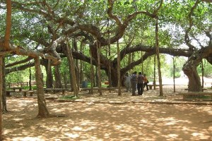 A banyan tree, one of the symbols of Auroville.