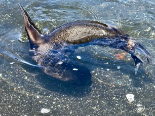 A fur seal swimming...