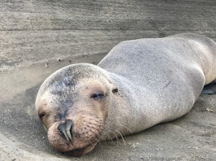 This one sea lion looked like it was dreaming