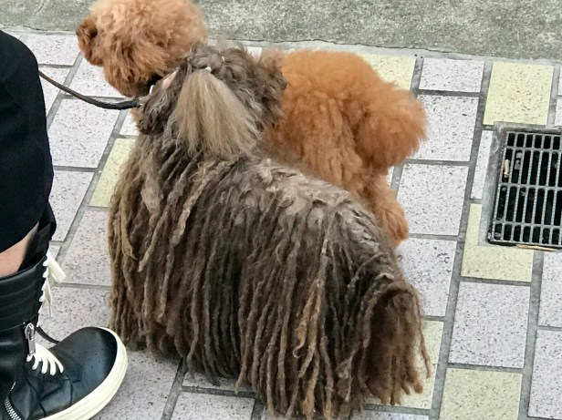 Yes, that is indeed a dog with dreadlocks