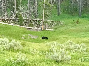 One final black bear on the way home