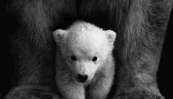 animal animal photography bear black and white