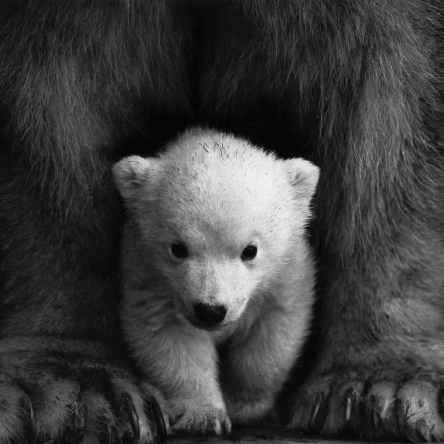animal animal photography bear black and white