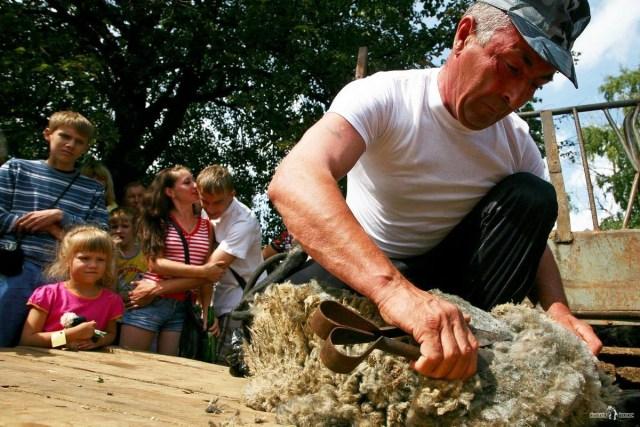 Стрижка овец. Стригаль за работой