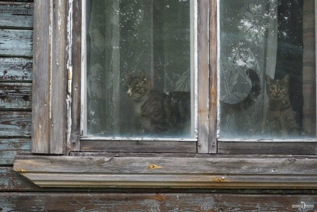 Беломорские коты в окне дома